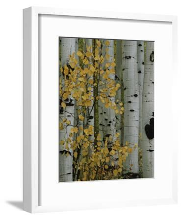 Autumn Foliage and Tree Trunks of Quaking Aspen Trees in the Crested Butte Area of Colorado-Marc Moritsch-Framed Photographic Print