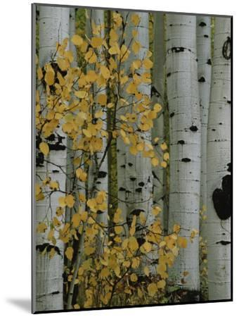 Autumn Foliage and Tree Trunks of Quaking Aspen Trees in the Crested Butte Area of Colorado-Marc Moritsch-Mounted Photographic Print