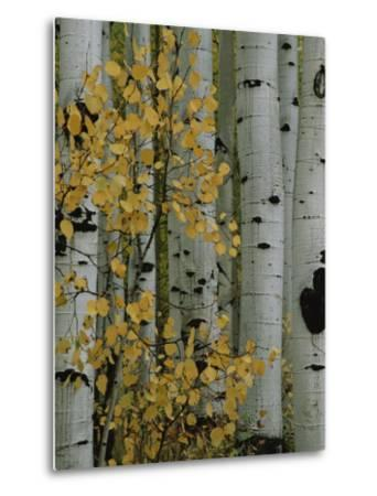 Autumn Foliage and Tree Trunks of Quaking Aspen Trees in the Crested Butte Area of Colorado-Marc Moritsch-Metal Print