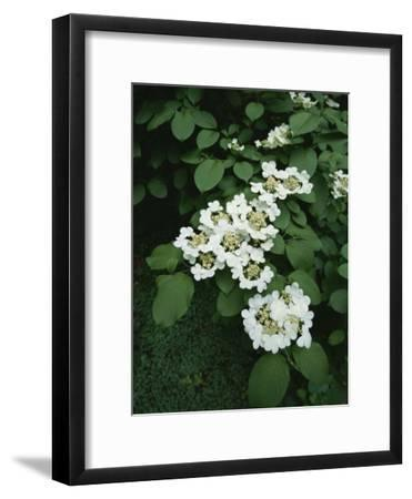 A Cluster of Blossoms on an Ironwood Tree in Rock Creek Park-Taylor S^ Kennedy-Framed Photographic Print