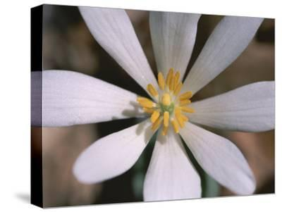 A Close View of a Spring Flower-Taylor S^ Kennedy-Stretched Canvas Print