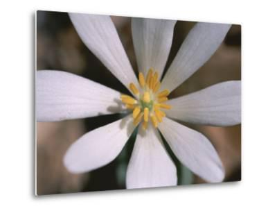 A Close View of a Spring Flower-Taylor S^ Kennedy-Metal Print