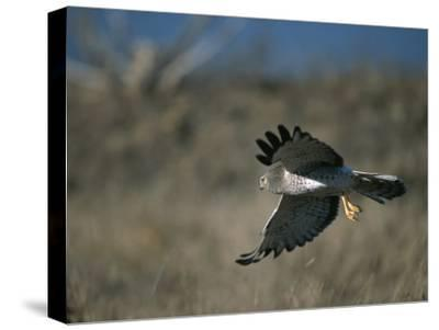 A Northern Harrier Hawk in Flight-Roy Toft-Stretched Canvas Print