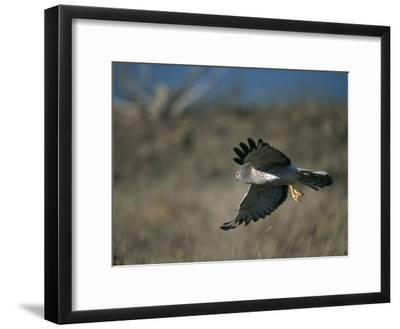 A Northern Harrier Hawk in Flight-Roy Toft-Framed Photographic Print
