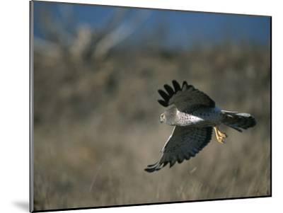A Northern Harrier Hawk in Flight-Roy Toft-Mounted Photographic Print