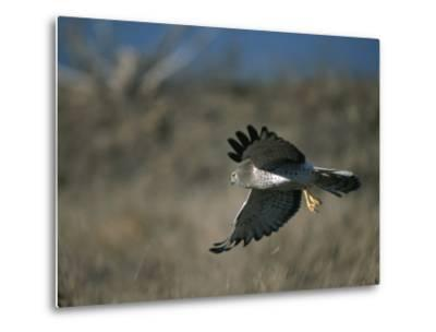 A Northern Harrier Hawk in Flight-Roy Toft-Metal Print