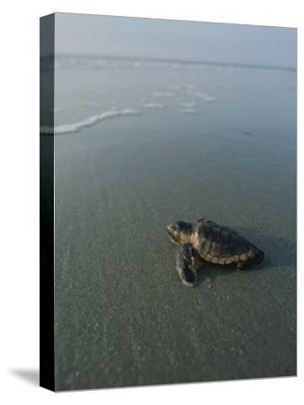 A Newly-Hatched Loggerhead Sea Turtle Heads for the Water-Michael Melford-Stretched Canvas Print