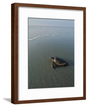 A Newly-Hatched Loggerhead Sea Turtle Heads for the Water-Michael Melford-Framed Photographic Print