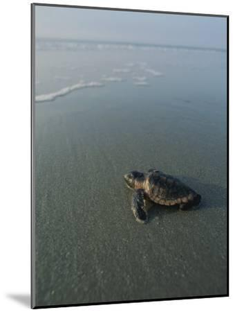 A Newly-Hatched Loggerhead Sea Turtle Heads for the Water-Michael Melford-Mounted Photographic Print