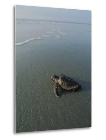 A Newly-Hatched Loggerhead Sea Turtle Heads for the Water-Michael Melford-Metal Print