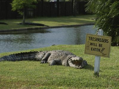 An American Alligator on a Lawn Next to a Humorous Warning Sign-Raymond Gehman-Framed Photographic Print