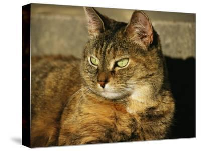 A Portrait of a Pet Tabby Cat-Medford Taylor-Stretched Canvas Print