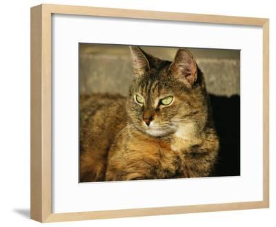 A Portrait of a Pet Tabby Cat-Medford Taylor-Framed Photographic Print