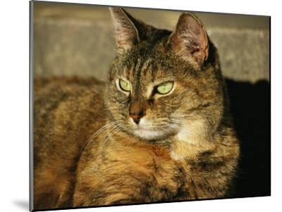 A Portrait of a Pet Tabby Cat-Medford Taylor-Mounted Photographic Print