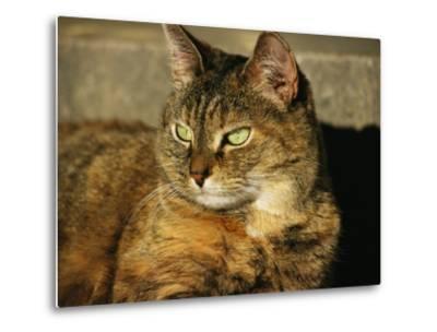 A Portrait of a Pet Tabby Cat-Medford Taylor-Metal Print
