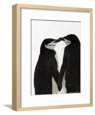 A Pair of Chinstrap Penguins in a Courtship Cuddle-Ralph Lee Hopkins-Framed Photographic Print