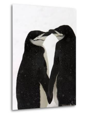A Pair of Chinstrap Penguins in a Courtship Cuddle-Ralph Lee Hopkins-Metal Print