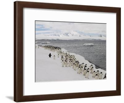 Chin Strap Penguins March Along the Icy Coast of Antarctica-Ralph Lee Hopkins-Framed Photographic Print