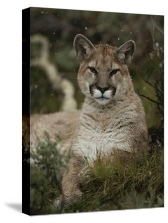 Portrait of a Mountain Lion with Snowflakes-Jim And Jamie Dutcher-Stretched Canvas Print
