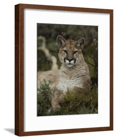 Portrait of a Mountain Lion with Snowflakes-Jim And Jamie Dutcher-Framed Photographic Print