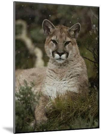 Portrait of a Mountain Lion with Snowflakes-Jim And Jamie Dutcher-Mounted Photographic Print