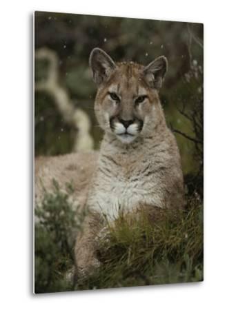 Portrait of a Mountain Lion with Snowflakes-Jim And Jamie Dutcher-Metal Print