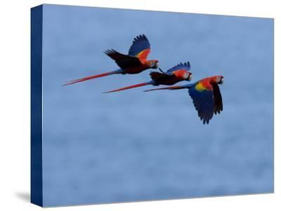 Three Scarlet Macaws (Ara Macao) in Flight, Blue Sky Background-Roy Toft-Stretched Canvas Print