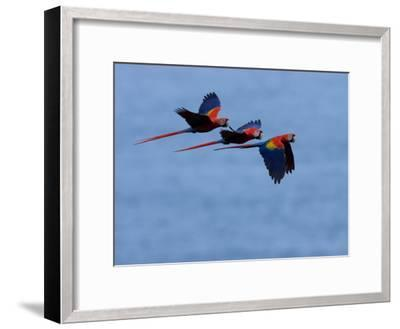 Three Scarlet Macaws (Ara Macao) in Flight, Blue Sky Background-Roy Toft-Framed Photographic Print