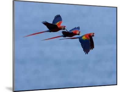 Three Scarlet Macaws (Ara Macao) in Flight, Blue Sky Background-Roy Toft-Mounted Photographic Print