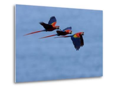 Three Scarlet Macaws (Ara Macao) in Flight, Blue Sky Background-Roy Toft-Metal Print
