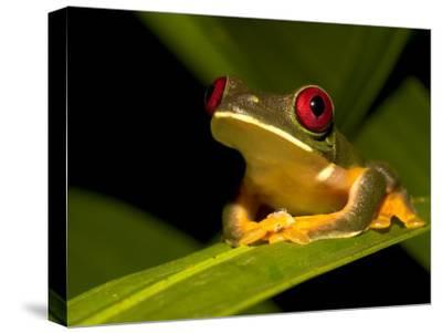 Nocturnal Red-Eyed Tree Frog (Agalychnis Callidryas) Sitting on Leaf-Roy Toft-Stretched Canvas Print