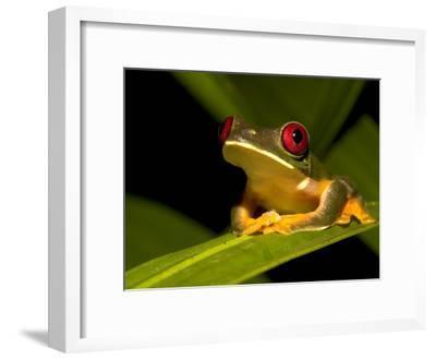 Nocturnal Red-Eyed Tree Frog (Agalychnis Callidryas) Sitting on Leaf-Roy Toft-Framed Photographic Print
