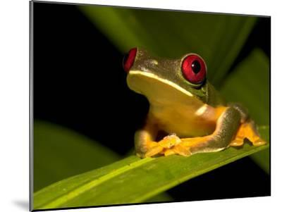 Nocturnal Red-Eyed Tree Frog (Agalychnis Callidryas) Sitting on Leaf-Roy Toft-Mounted Photographic Print