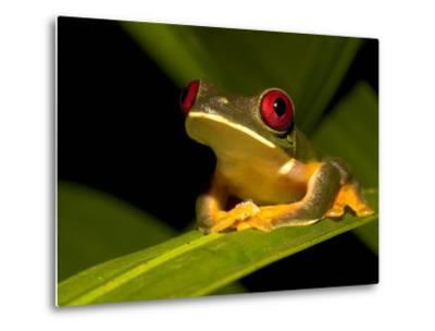 Nocturnal Red-Eyed Tree Frog (Agalychnis Callidryas) Sitting on Leaf-Roy Toft-Metal Print