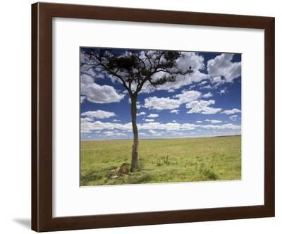 A Male Lion Beneath a Lone Acacia Tree on Open Grassland (Panthera Leo)-Roy Toft-Framed Photographic Print