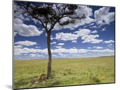 A Male Lion Beneath a Lone Acacia Tree on Open Grassland (Panthera Leo)-Roy Toft-Mounted Photographic Print
