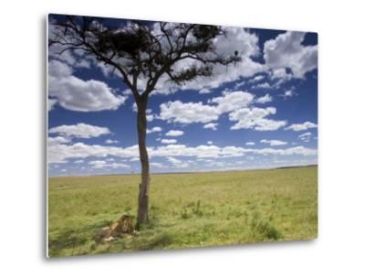 A Male Lion Beneath a Lone Acacia Tree on Open Grassland (Panthera Leo)-Roy Toft-Metal Print