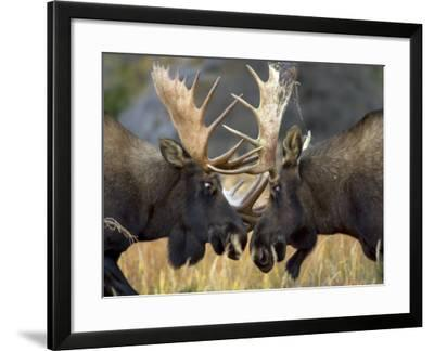 Close-up of Two Moose Locking Horns and Fighting (Alces Alces)-Roy Toft-Framed Photographic Print