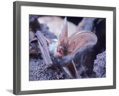 Excellent Close Up of the Spotted Bat-Nina Leen-Framed Photographic Print
