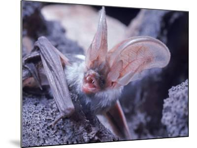 Excellent Close Up of the Spotted Bat-Nina Leen-Mounted Photographic Print