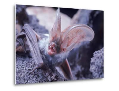 Excellent Close Up of the Spotted Bat-Nina Leen-Metal Print