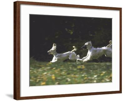 Afghans Zorro and April Break Into an Impromptu Sprint Prior to Gazehound Race-John Dominis-Framed Photographic Print