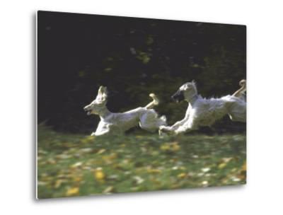 Afghans Zorro and April Break Into an Impromptu Sprint Prior to Gazehound Race-John Dominis-Metal Print