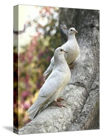 Doves Sitting on Tree Branch, in Chapultepec Park-John Dominis-Stretched Canvas Print