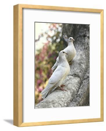 Doves Sitting on Tree Branch, in Chapultepec Park-John Dominis-Framed Photographic Print