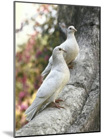 Doves Sitting on Tree Branch, in Chapultepec Park-John Dominis-Mounted Photographic Print