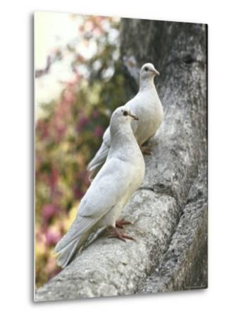 Doves Sitting on Tree Branch, in Chapultepec Park-John Dominis-Metal Print