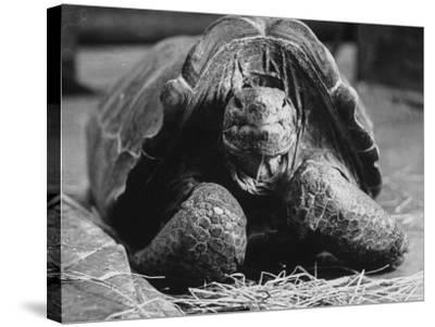 Close Up of Old Female Tortoise-Nina Leen-Stretched Canvas Print