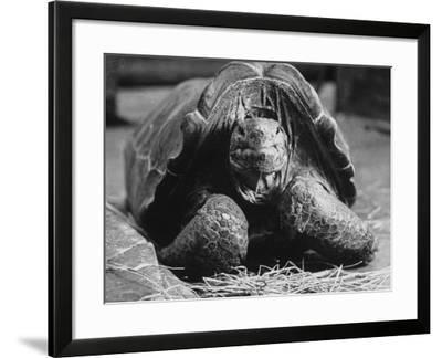 Close Up of Old Female Tortoise-Nina Leen-Framed Photographic Print