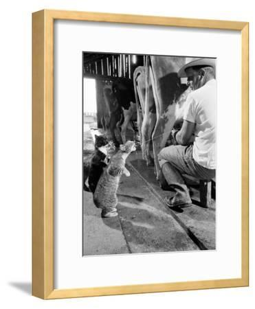 Cats Blackie and Brownie Catching Squirts of Milk During Milking at Arch Badertscher's Dairy Farm-Nat Farbman-Framed Photographic Print